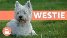In this AnimalWised video, we will talk about one of the most popular dog breeds, the West Highland Terrier. If you love the West Highland White Terrier and . West Highland Terrier Puppy, Highlands Terrier, Terrier Puppies, Baby Puppies, Dogs And Puppies, Maltese Puppies, Yorkshire Terrier, Le Chihuahua, Otters Cute