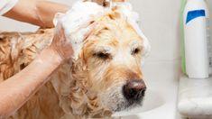 Doggie Cube 5 Basic Dog Eye Care Tips To Help Protect Your Dog's Eyes - Doggie Cube Diy Dog Wash, Homemade Dog Shampoo, Diy Shampoo, New Puppy Checklist, Stinky Dog, Dog Smells, Dog Eyes, Service Dogs, Pet Grooming
