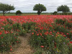Wildseed Farms outside of Fredericksburg, TX