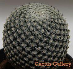 mammillaria pseudoperbella Cactus Gallery