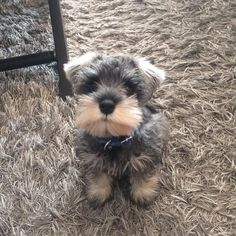 Ranked as one of the most popular dog breeds in the world, the Miniature Schnauzer is a cute little square faced furry coat. Schnauzer Grooming, Miniature Schnauzer Puppies, Schnauzer Puppy, Miniature Dogs, Schnauzers, Cute Puppies, Cute Dogs, Dogs And Puppies, Doggies