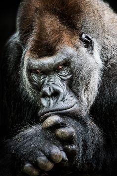 Frontal Portrait of Western Lowland Gorilla