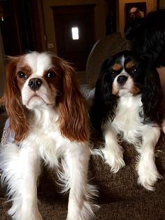 Tux and Remy. Tux suffers from episodic falling. Read his story on Facebook. Tail of Tux