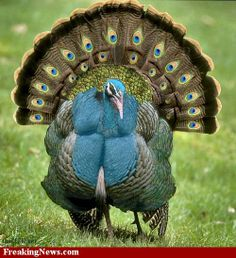 """""""Peacock Turkey,"""" by Eyal for a Thanksgiving Photoshop contest -- This totally made me laugh! I had just seen a cartoon where one turkey was asking another if he thought his peacock disguise would fool them....if it had looked like this, it just might!!"""