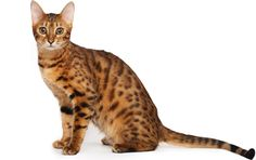 Bengal cats look feral, but are totally domestic. Learn more about the bengal cat breed and see if this cat is right for you,