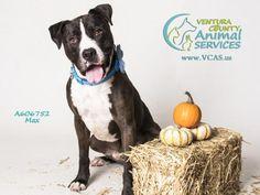 American Pit Bull Terrier dog for Adoption in Camarillo, CA. ADN-433527 on PuppyFinder.com Gender: Male. Age: Adult