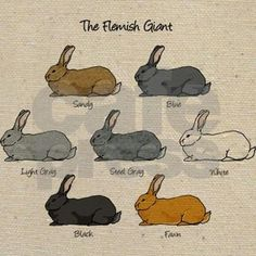 Flemish Giant rabbit varieties: Black, Blue, Sandy, Fawn, Light Gray, Steel Gray and White. The perfect gift for anyone who loves Flemish Giant rabbits.