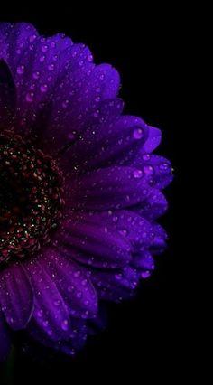 Dark Iphone Backgrounds, Flower Backgrounds, Wallpaper Backgrounds, Wallpaper Ideas, Iphone Wallpapers, Wallpaper Quotes, Purple Wallpaper Phone, Purple Flowers Wallpaper, Sunflower Wallpaper