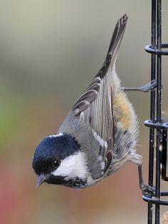 Coal tit . Saw one like this in the garden today.