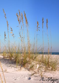 Sea Oates: Takin' a Walk in Gulf Shores, Alabama