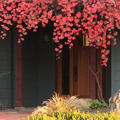 California Native Plants - brilliant red leaves in the Fall. Show-stopping on a trellis!
