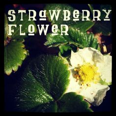 Photo: Strawberry Flower #garden #plant via Instagram | A Gardener's Notebook