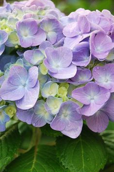 Items similar to Purple Hydrangea Note Card on Etsy - Modern Hydrangea Bloom, Hydrangea Colors, Hydrangea Flower, Purple Hydrangeas, Amazing Flowers, Love Flowers, Window Box Flowers, Flowers Nature, Hibiscus