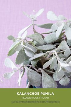 Kalanchoe pumila Flower Dust Plant succulent care and propagation information card How To Water Succulents, Flowering Succulents, Types Of Succulents, Growing Succulents, Indoor Succulents, Succulent Names, Succulent Gardening, Planting Succulents, Planting Flowers