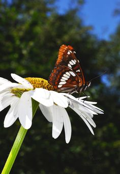 http://www.redbubble.com/people/marydawson/works/22547862-garden-friends?asc=u&ref=recent-owner #Whidbey #Island #WA  #Butterfly 2014 #daisy #wild #nature #wings #orange #white