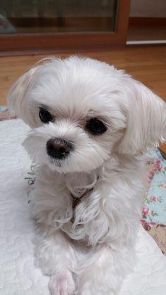 Maltese Puppies, Bichons, White Dogs, Sadie, Adorable Animals, Dog Stuff, Baby Animals, Madness, Dog Cat