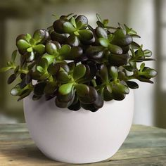 Crassula ovata Minor - 1 plant Buy online order yours now Types Of Succulents, Planting Succulents, Planting Flowers, Crassula Ovata, Plantes Feng Shui, Succulent Species, Plant Species, Lucky Plant, Jade Plants