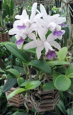 Cattleya intermedia var. coerulea 'RWA' | by rwa_in_SD