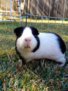 My Guinea pig CARROT who is so so so so cute