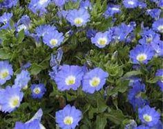 Nolana (Chilean Bellflower) Blue-50 seeds