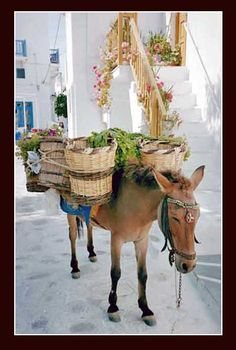 From Mykonos, Greece, a donkey rests in the cool shade Mykonos Island, Mykonos Greece, Crete Greece, Athens Greece, Santorini, Donkey Drawing, Myconos, Greek Isles, Greece Islands