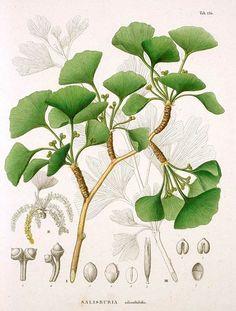 Ginkgo biloba ~ botanist Phillip von Siebold, Flora Japonica, c.1835