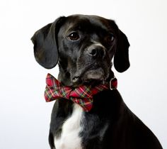 Winterberry Holiday Red Tartan Dog Bowtie Collar. Isn't this a great idea?