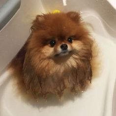 Did You Know That Pomeranians Melt In Water? This Owner Learned It The Hard Way | Bored Panda #Pomeranian