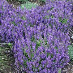 Lavendelsamen - Lavandula Angustifolia Englisch Lavendel Kräutersamen - flowers and plants - Anbau Lavender Seeds, Growing Lavender, Lavender Flowers, Growing Flowers, Lavender Plants, Lavander, French Lavender, Blue Flowers, How To Propagate Lavender