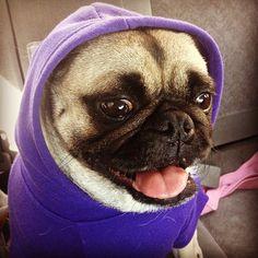 Mr. Pug is thuggin' in his hoodie