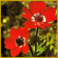 Die #Anemone ist eine winterharte #Gartenblume mit gefiederten Blättern.  Die Blätter der Anemone sind gefiedert und flaumig behaart, die Blüten sitzen einzeln auf den Stielen, unter dem Kelch stehen drei bis vier #Hochblätter.