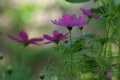http://www.wildfind.com/sites/default/files/imagecache/Vollansicht/03_pflanzenbilder/cosmea/wildfind_cosmea_17640400408149c025dffo.jpg