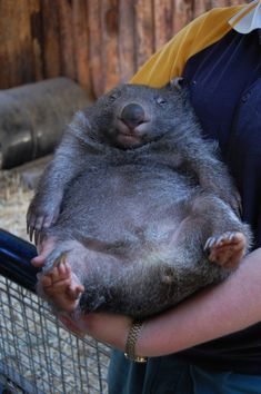 The Wombat Who Is So At Home In These Loving Arms | The 25 Most Important Wombats Of All Time