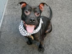 gone~~   PATRICK - A1081931 - Manhattan - Publicly Adoptable TO BE DESTROYED 07/27/16 A volunteer writes: Patty-cake, patty-cake…You couldn't ask for a cuter little dumpling than Patrick and he's such a goofball that I can't stick to his formal name for long, not after seeing him repeatedly fumble a tennis ball like it was a hot buttered potato! Patty is a natural born clown and though he was a little shy on arrival, after a turn in doggie playgroup, lots of treats and a game of fetch