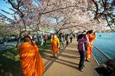 Cherry Blossom Festival, Washington DC.