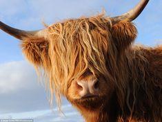 A striking auburn Highland cow is captured as part of the photographer Steve Carter's incr...