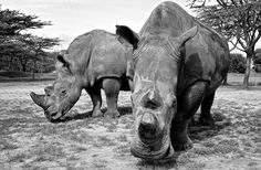 There are only three northern white rhino left on the planet, and all attempts at mating t...