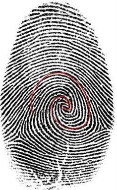 Fibonacci sequence in a human fingerprint.