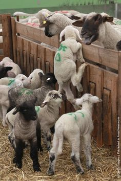 Spirited little lamb trying to make it back over to his Mama? they're all marked for slaughter. :-( :-(