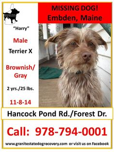 "Missing Male Terrier X: Embden, Maine 11-8-14 ""Harry"" is Brownish /Gray, 2 yrs./25 lbs.. He was scared by gunshots in the distance and is missing from the area of Hancock Pond Rd./Forest Dr.. Please share Harry's flyer to help get him home to his family! Call: 978-794-0001 Sharon Boulanger Like"