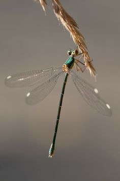 Dragonfly, Glanzend, Insect