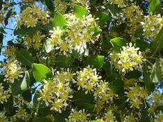 flor del quillay