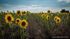 Girasoles ~ Fotografía Juanjo Mediavilla