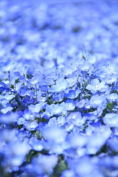 Blue Hill (Nemophila) Hitachi Seaside Park, Japan #blue