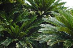 Cycad Trees. Tropical Plants, Tropical Garden, Tropical Style, Exotic Places, Drought Tolerant, Summer Garden, Okayama, Plant Leaves, Santa Barbara