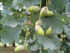 Dub Letní (Quercus robur) Čeleď: Bukovité (Fagaceae)