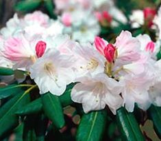 Rhododendron 'Nestucca'