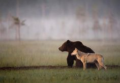 Photographer Lassi Rautiainen documents the beautifully uncommon relationship that's shared between a gray wolf and a brown bear.