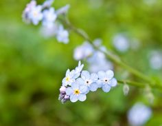 Adorable forget me not