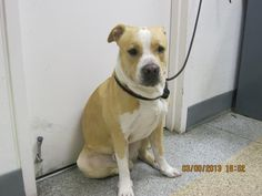This DOG-ID#A703627    I am a male, blonde and white Pit Bull Terrier mix.    The shelter staff think I am about 1 year and 6 months old.    I have been at the shelter since Mar 09, 2013.